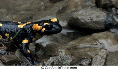 Europaean fire salamander - close up of a big black yellow...