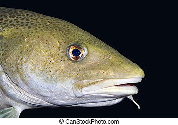cod - close up of a big cod with black background