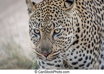Close up of a big male Leopard in Kruger.