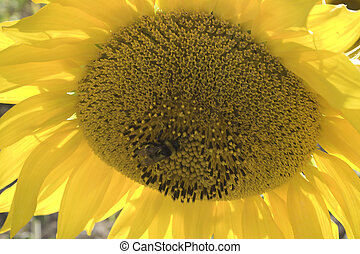 Close up of a big sunflower and bee