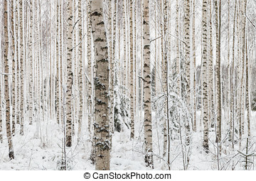 Close-up of a birch wood in winter in Finland - Trees in...