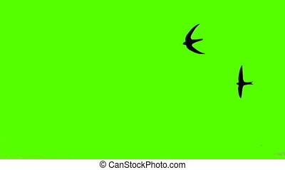 Close-up of a bird flying on a green screen.