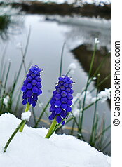Close-up of a blue grape hyacinth blossom covered in snow