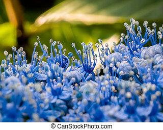 Close-up of a blue Hydrangea in an English garden