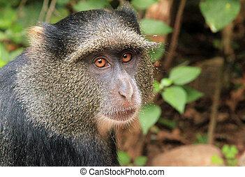Close-up of a Blue Monkey (Cercopithecus Mitis), Lake Manyara, Tanzania