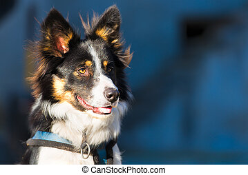 Close up of a border collie