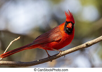 Close up of a bright male red northern cardinal