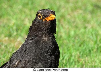 Close up of a British blackbird on a grass lawn