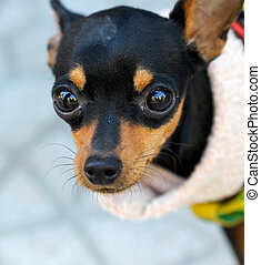 Close up of a Brown doggy with big eyes