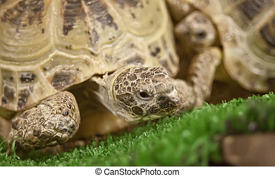 close up of a brown turtle on the grass