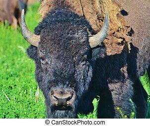 Close up of a buffalo.