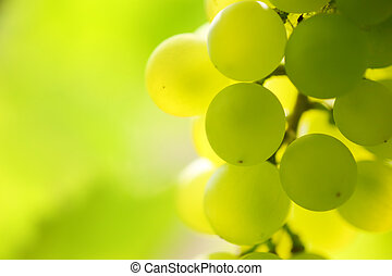 Close-up of a bunch of grapes on grapevine in vineyard. ...