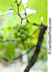 Close-up of a bunch of grapes on grapevine
