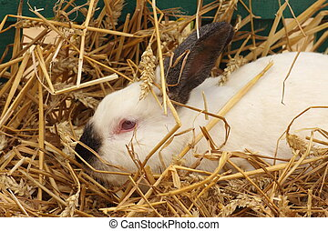 close-up of a californian rabbit farm in the straw