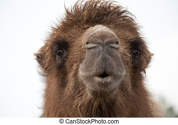 Close up of a camel (Camelus bactrianus domesticus)
