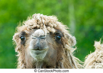 camel - close-up of a camel (Camelus bactrianus domesticus )