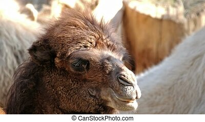 Close up of a camel chewing - Close up of a camel in the...