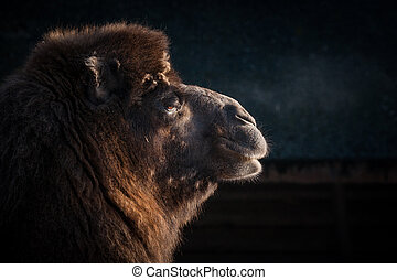 Close-up of a camels head on a dark background