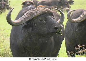 Close up of a Cape Buffalos in the Ngorongoro crater in Tanzania
