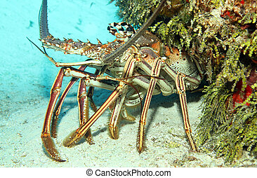 Close-up of a Caribbean Spiny Lobster (Panulirus Argus) on Sand Bottom, Looking out from its Cavern, Cozumel, Mexico