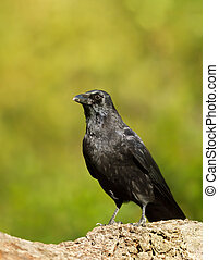 Carrion crow perching on a tree trunk