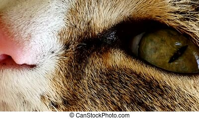 Close-up of a cat's eye. FullHD video
