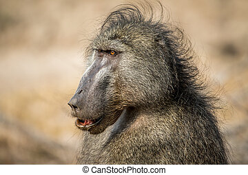 Close up of a Chacma baboon in the Kruger.