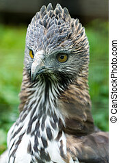 Close up of a Changeable Hawk-Eagle. (Scientific name - ...