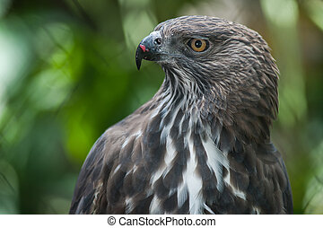 Close up of a Changeable Hawk eagle