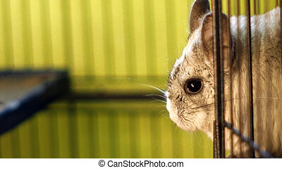 close up of a chinchilla standing in a cage