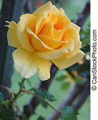 yellow rose - Close-up of a classic yellow rose