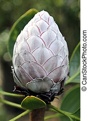 Close Up of a Closed King Protea Flower - Close up shot of a...
