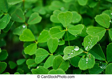 Close-up of a clover with dew drops