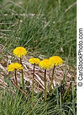 Close-up of a Clump of Dandelions (Taraxacum)
