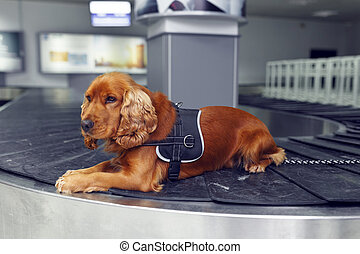 Close up of a cocker spaniel dog at the airoport sitting and waiting on baggage rolling band on inside the airoport.