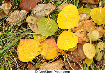 Close-up of a Colorful Aspen Leaves