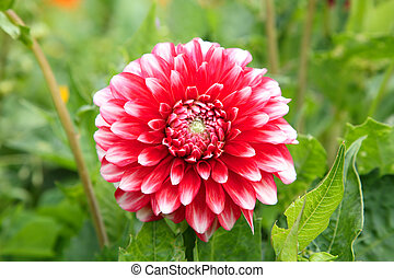 Close up of a colourful red dahlia.