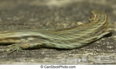 Close-up of a Common Lizard (Zootoca vivipara) basking on in...