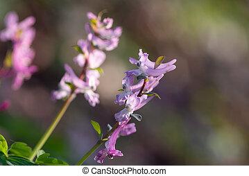 close up of a corydalis wild flower on natural dark blackground