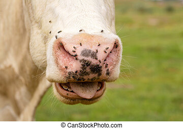 Close-up of a cow nose attacked by flies. Parasites cause discomfort in livestock.
