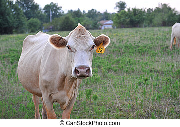 close up of a cow
