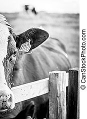 Close Up Of A Cow With Flies On It Looking Sad
