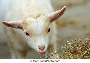 cute baby goat in spring - close-up of a cute baby goat in...