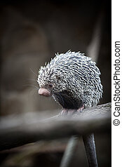 Close-up of a cute Brazilian Porcupine (Coendou prehensilis;...