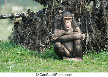 close-up of a cute chimpanzee (Pan troglodytes)
