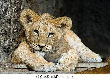 cute lion cub - close-up of a cute lion cub