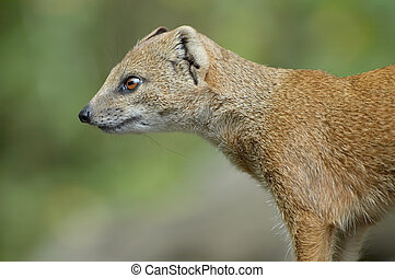 mongoose - close-up of a cute mongoose