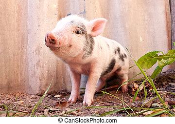 Close-up of a cute muddy piglet running around outdoors on...