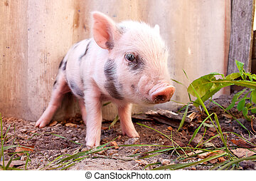 Close-up of a cute muddy piglet running around outdoors on the farm. Ideal image for organic farming