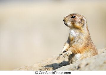 prairie dog - close-up of a cute prairie dog